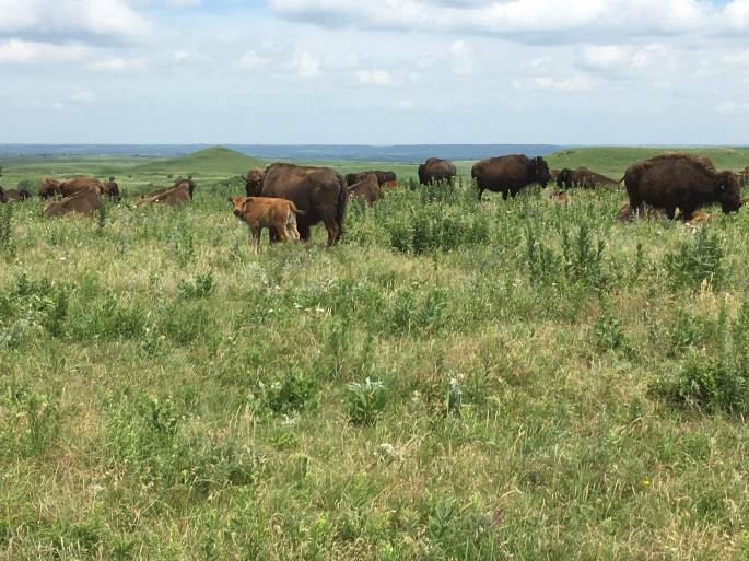Konza bison in the way